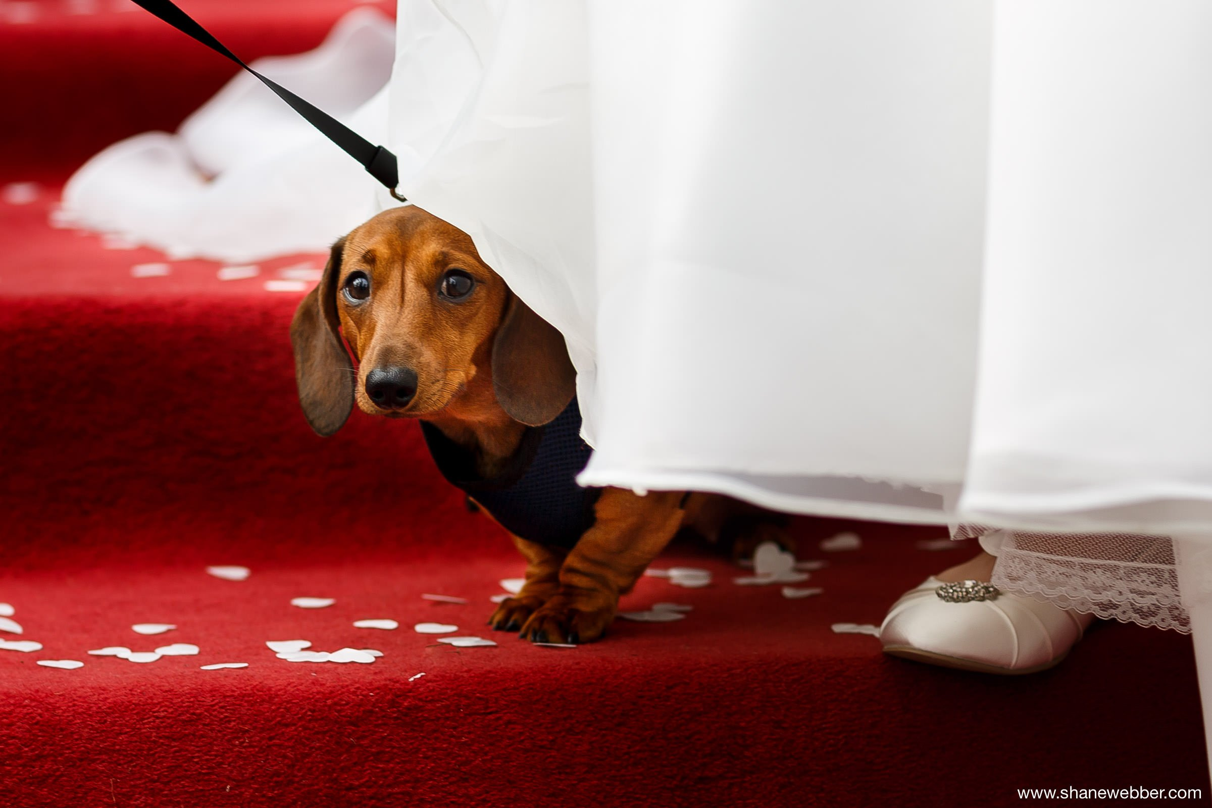 Dachshund puppy at wedding