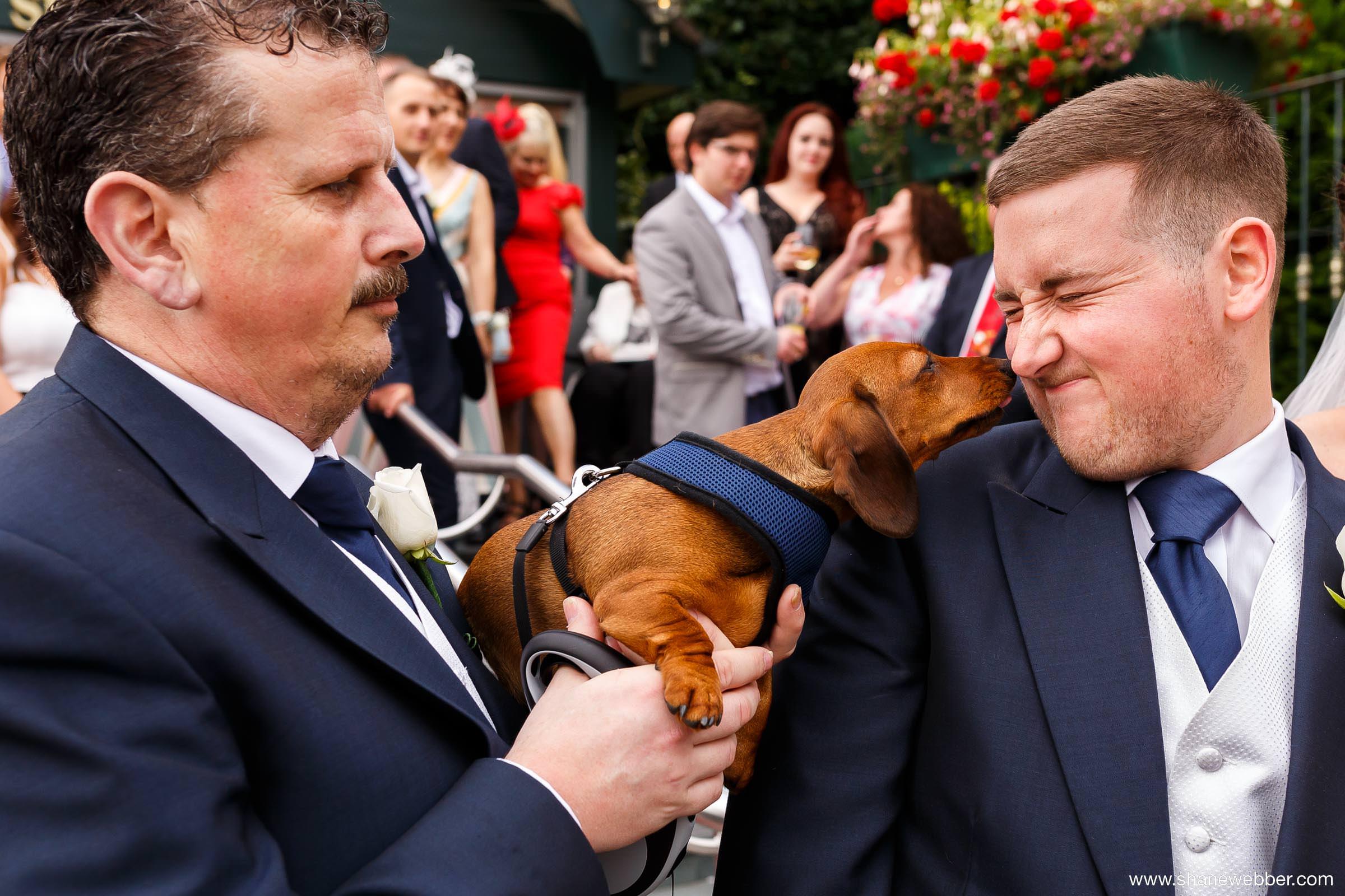 Cute sausage dog puppy at wedding